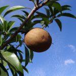 manfaat-buah-sawo