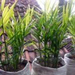 tanaman-jahe-untuk Apotik Hidup