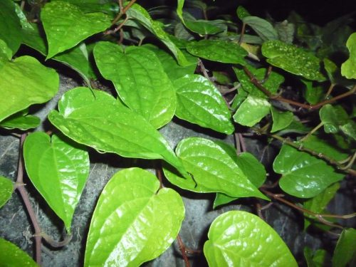 tanaman-sirih