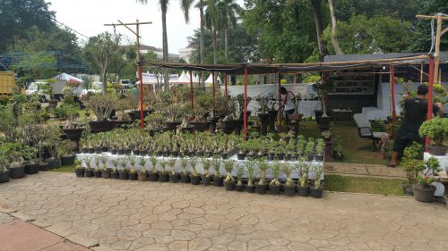 Adenium Pameran Flora Fauna Jakarta