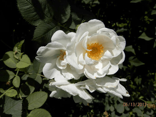 Mawar-Alba