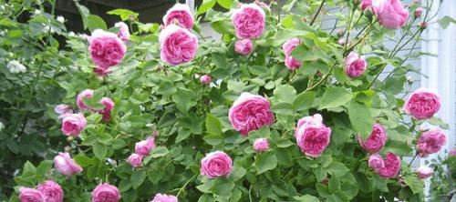 Mawar-Bourbon-Rose