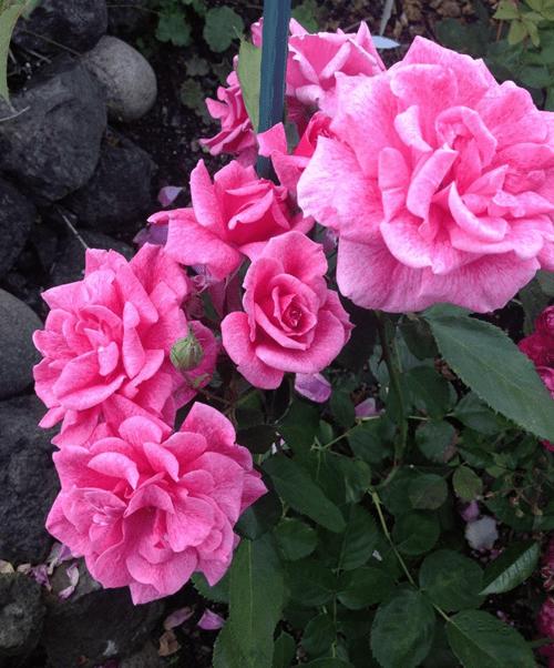 Mawar-Buck-Rose