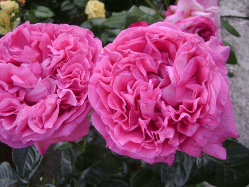 Mawar-Centifolia-Rose