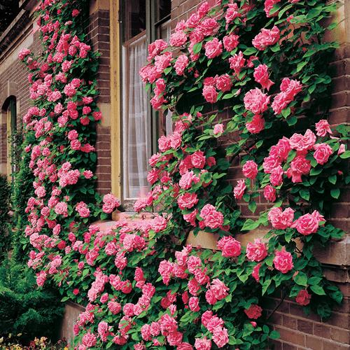 Mawar-Climbing-Rose