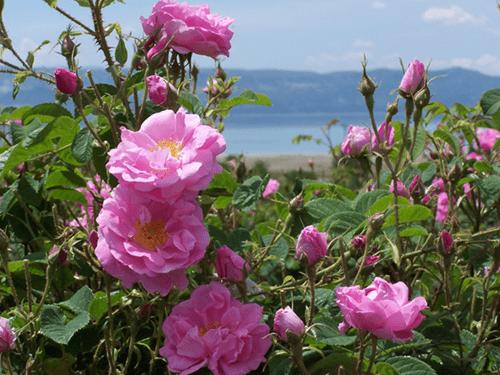 Mawar-Damask-Rose