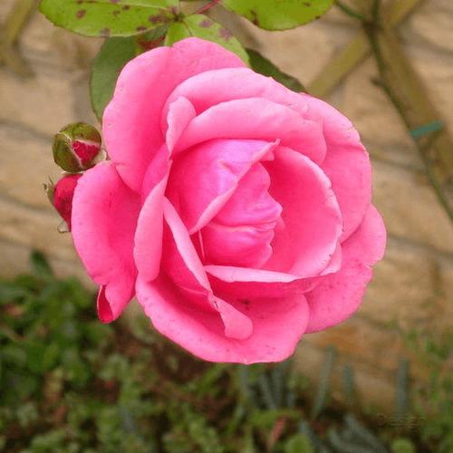 Mawar-English-Rose