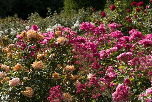 Mawar-Floribunda-Rose