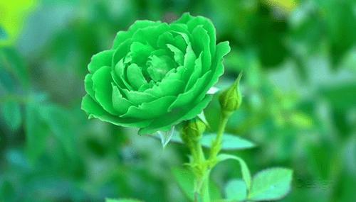 Mawar-Hijau