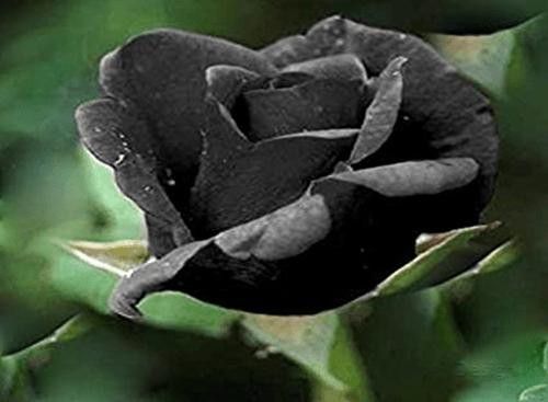Mawar-Hitam