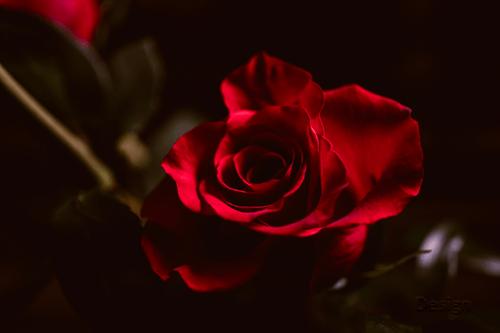 30 Aneka Jenis Bunga Mawar Sebagai Inspirasi Tanaman Hias Di Rumah