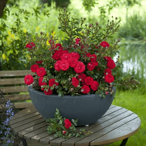 Mawar-Miniature-Rose