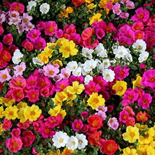 Mawar-Moss-Rose