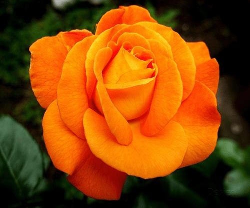 Mawar-Orange-rose