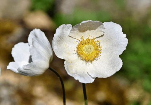 Mawar-Putih