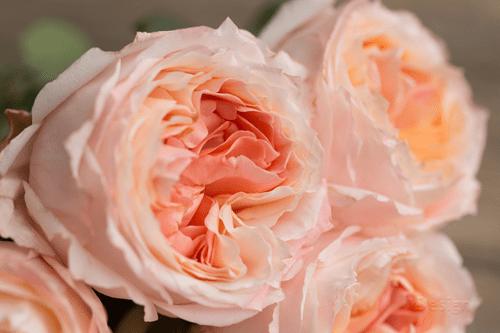 Mawar-Putri