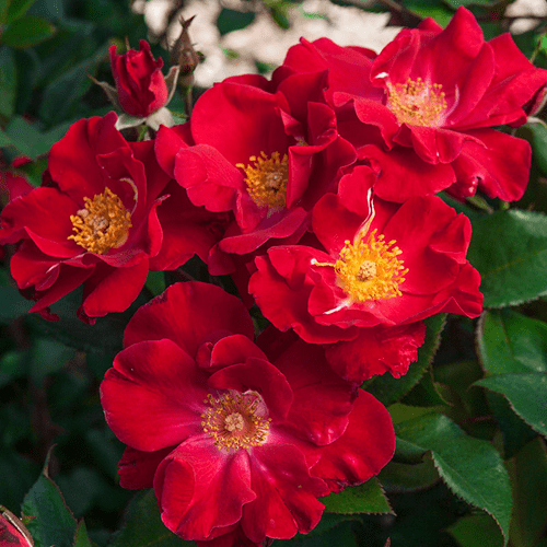 Mawar-Shrub-Rose