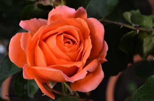 Mawar-Talitha-Rose