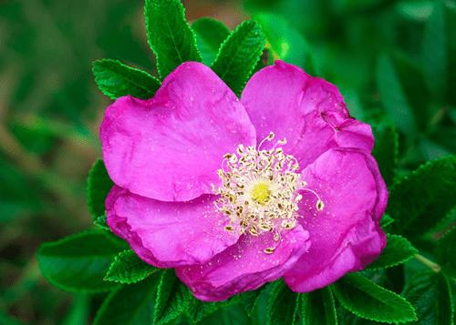 Mawar-Ungu