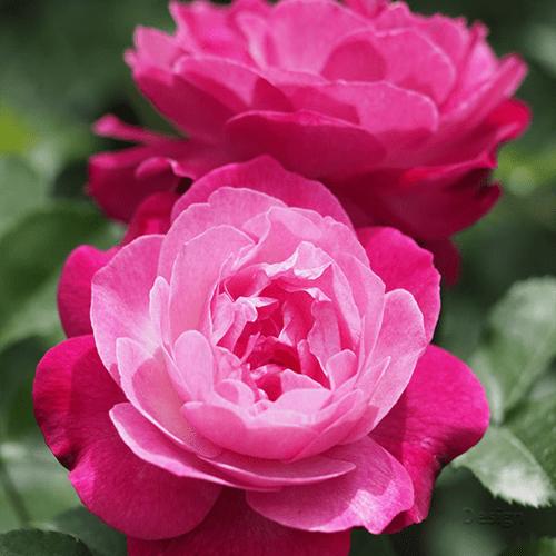 Mawar-perpetual-rose