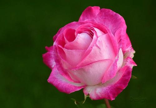 Mawar-pink-rose