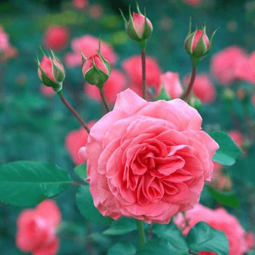Mawar-tea-rose