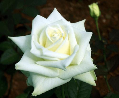 Mawar-white-mega-rose