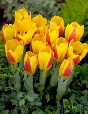 Jenis-bunga-Tulip-kaufmanniana