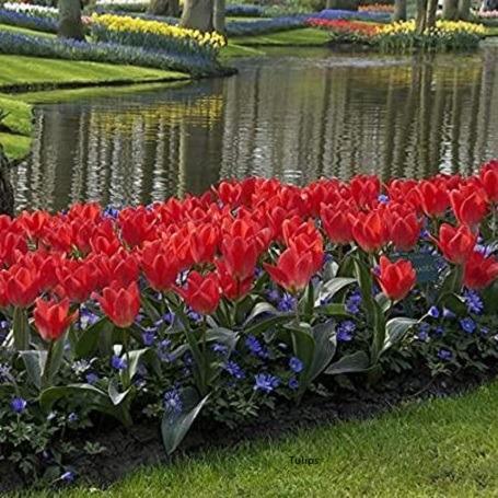 Tulip-Fosteriana-amazon