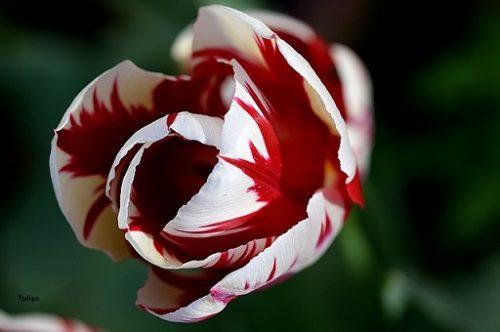 Tulip Rembrandt
