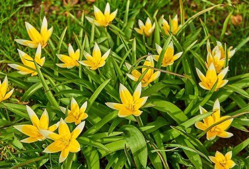 Tulips-tarda
