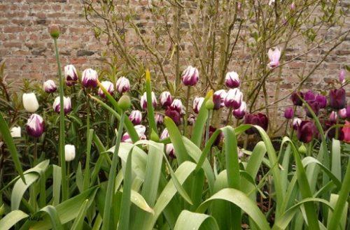 Tulips-zurel