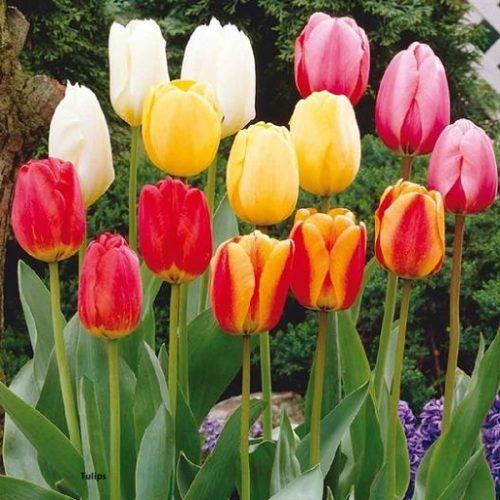 jenis-tulip-darwin-hybrid