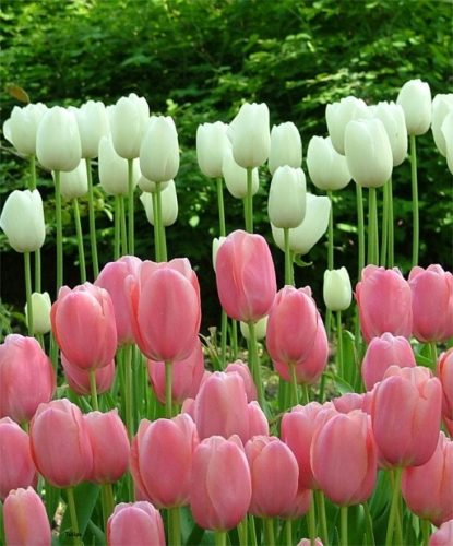 tulip-single-late