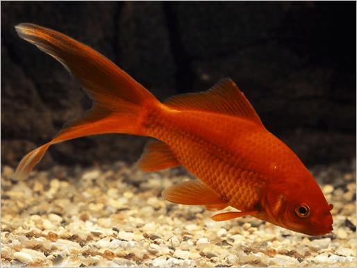 Comet-Goldfish-Carassius-auratus