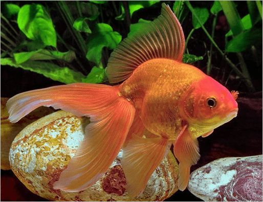 Fantail-goldfish