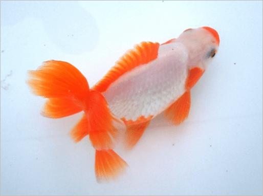 Jikin-goldfish