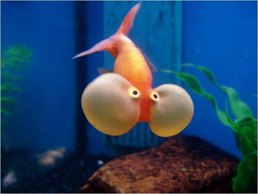 bubble-eye-ikan-mas-koki