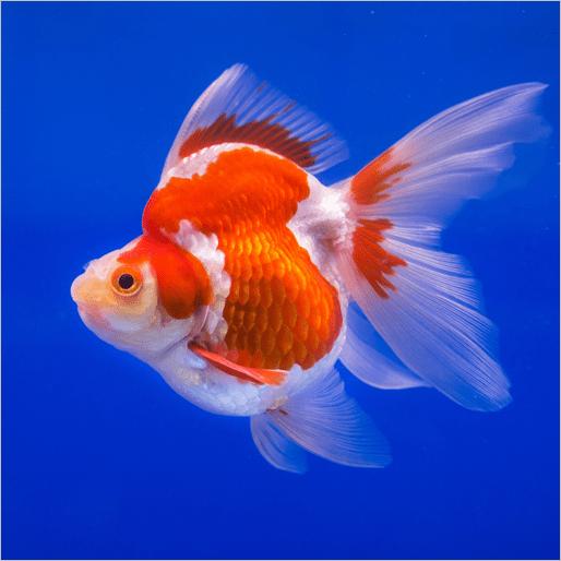 ryukin-goldfish