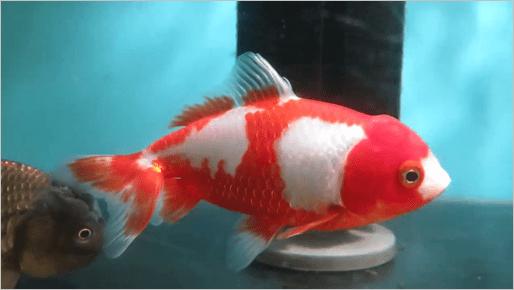 wakin-goldfish