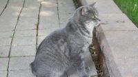 Kucing-Manx